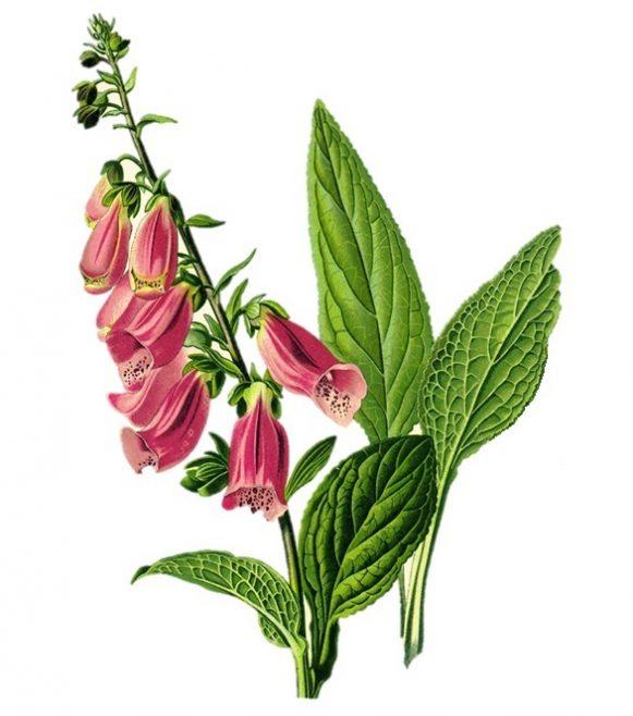 Foxglove | Public Domain: https://en.wikipedia.org/wiki/Digitalis#/media/File:Digitalis_purpurea_Koehler_drawing.jpg
