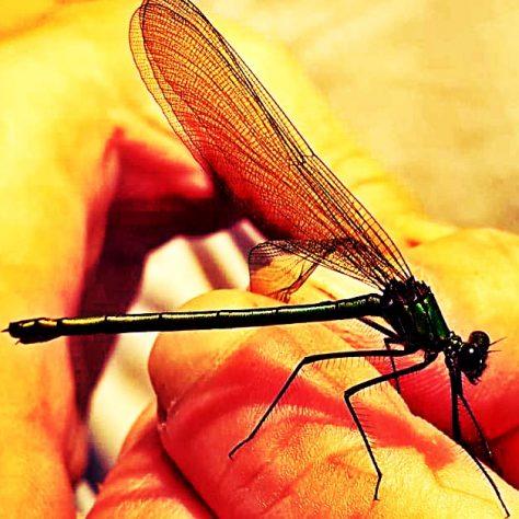 Dragonfly | Emily Land