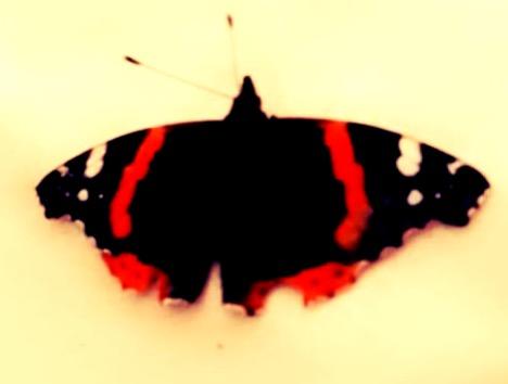 Ballinrobe butterfly | Emily Land