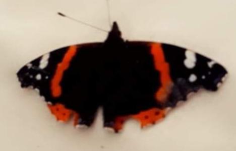 Emily's Butterfly