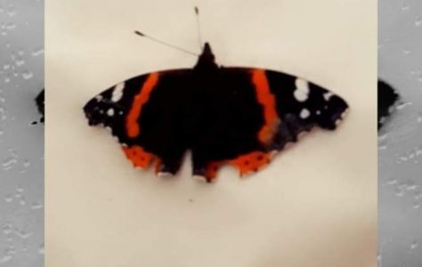 Red Admiral by Emily Land