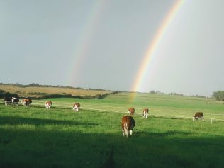 Hereford cattle graze contentedly on the ancestral homestead of Thomas Larkin, perhaps wishing to discover their 'pot-of-gold' beneath the rainbow.  | Michael Larkin