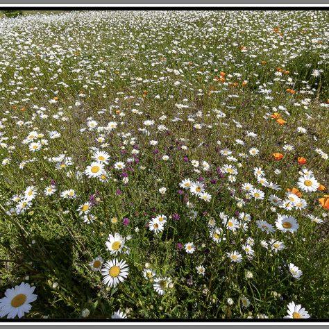 Field of flowers Carn, Kilbeagh    Seamus Bermingham