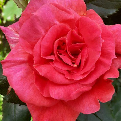 Mam's Rose   Noelene Beckett Crowe