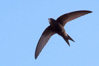 Common Swift (Apus apus) | (Source: Wikipedia)