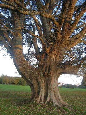 The oldest Sycamore in Mayo - Ballinrobe Golf Course, Co. Mayo | www.treecouncil.ie