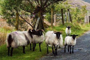 Blackface ewes and lambs | Sean Cadden