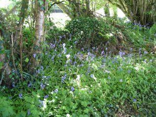 Bluebells in Spring in Askanagap   Askanagap Community Group