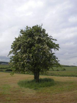 Fairy Tree: Hawthorn, Tullyoghallen, Beleek, Co. Armagh | www.treecouncil.ie