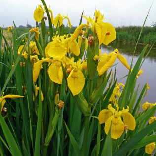'flaggers' were the leaves from the Yellow flag iris | courtesy of Fashions-cloud.com