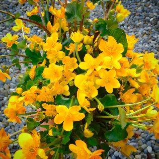 Marsh Marigolds | M. J. S. Moran