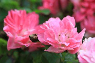 Wild roses | Foxglove Lane