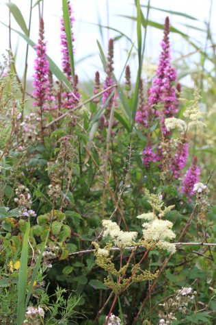 Purple Loosestrife & Meadowsweet | Foxglove Lane