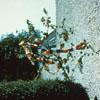 Decorating the May Bush