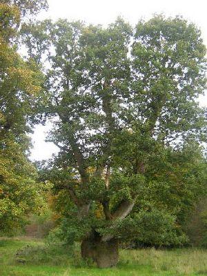 Pumkin Tree, Strokestown Co. Roscommon | www.treecouncil.ie