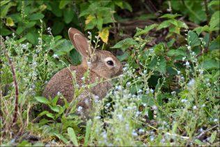 Rabbit in the nettles   Askanagap Community Development Association