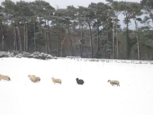 Black and White sheep in the Snow. | Roundwood Tidy Towns