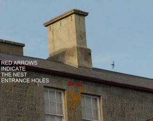 Traditional nest site, with entrance indicated.  Swift in flight above the building.