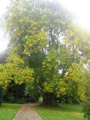 Tulip Tree Knockabbey Gardens, Tallanstown, Co. Louth | www.treecouncil.ie