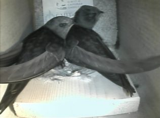 Two swifts in a nest box, 2013