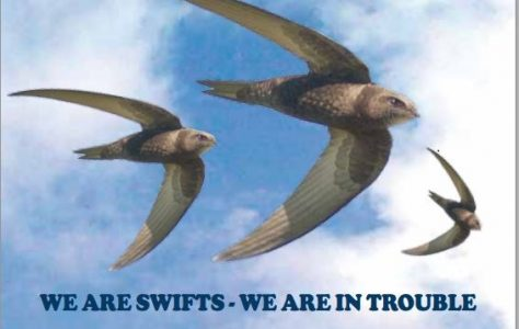 Swift Conservation Project
