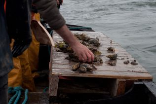 Sorting the Oysters on the 'Stage'