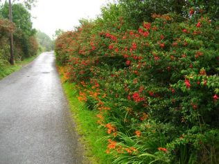 Lane lined with crocosmia ( a native of Peru!) growing beneath  hedges of fuchsia (a native of South Africa!)   Picture by Sunny Wieler, a landscaper/stonemason/artist, living in Ireland